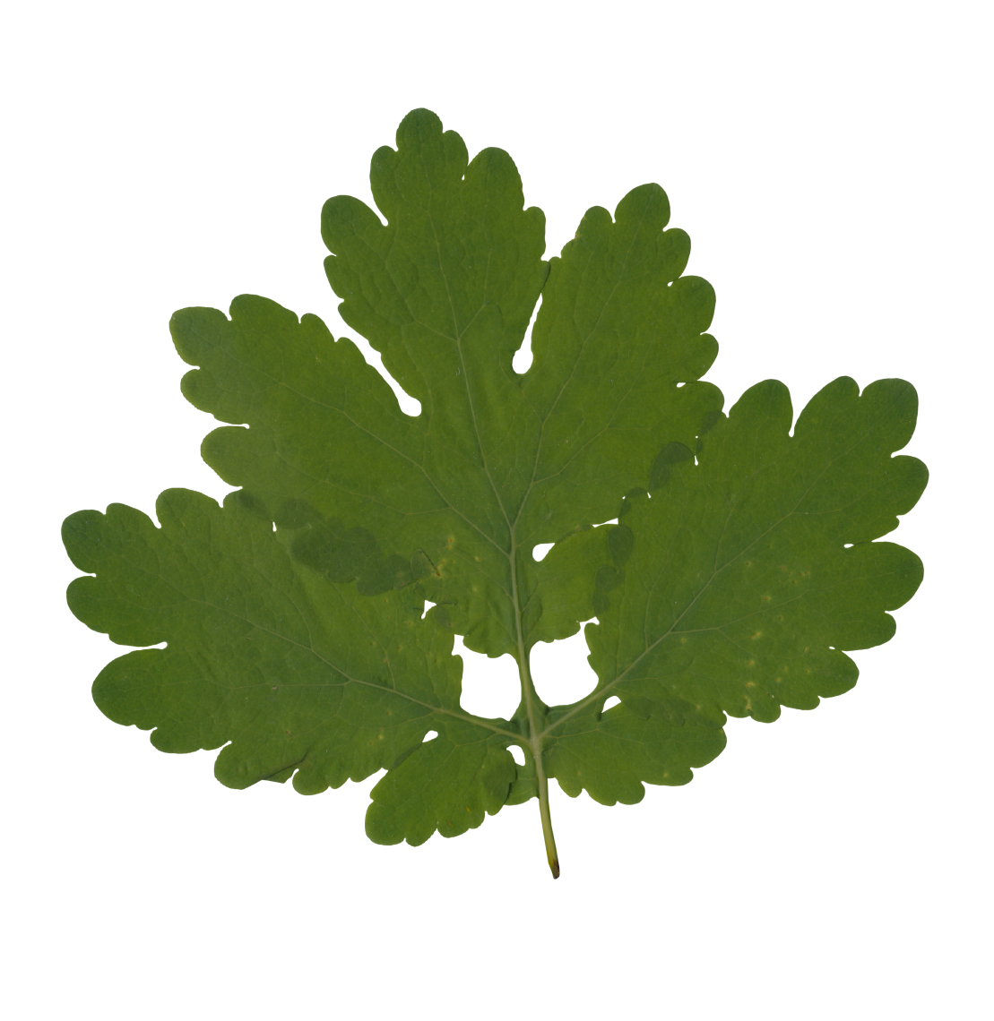 Nature Leaves_0061