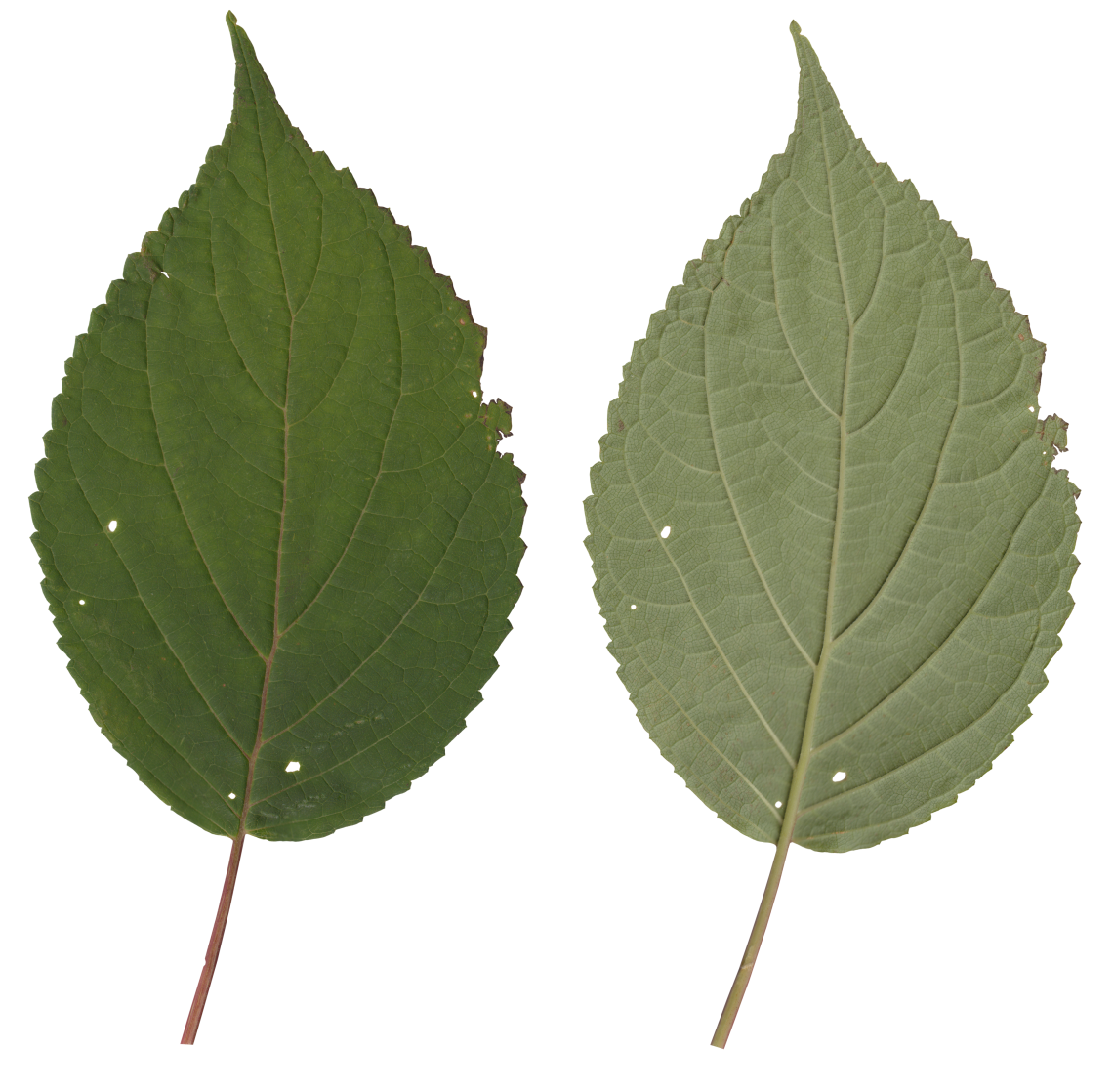 Nature Leaves_0081