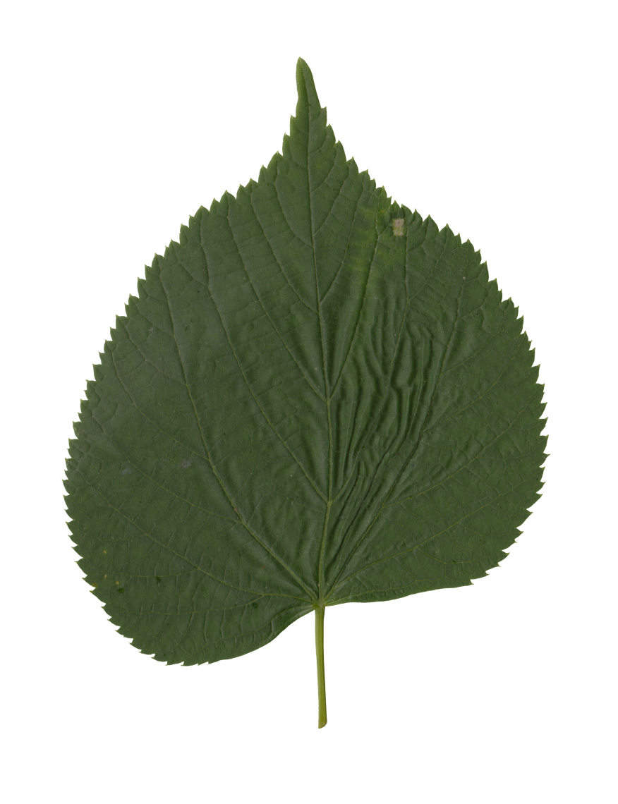 Nature Leaves_0043