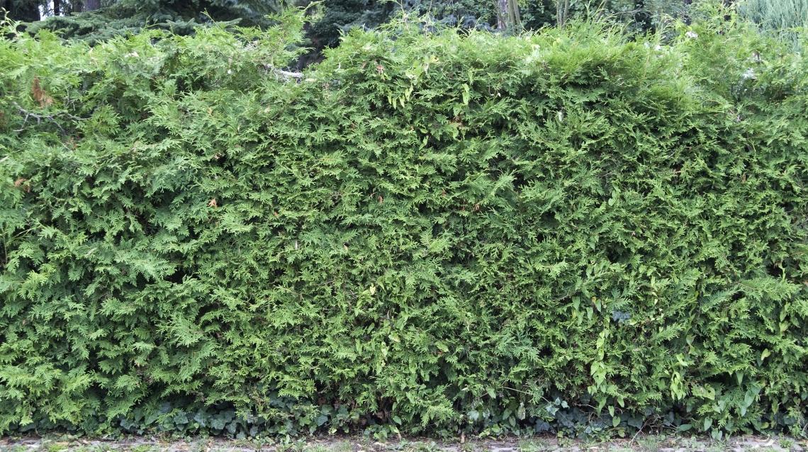 Hedges