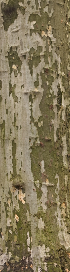 Bark Deciduous