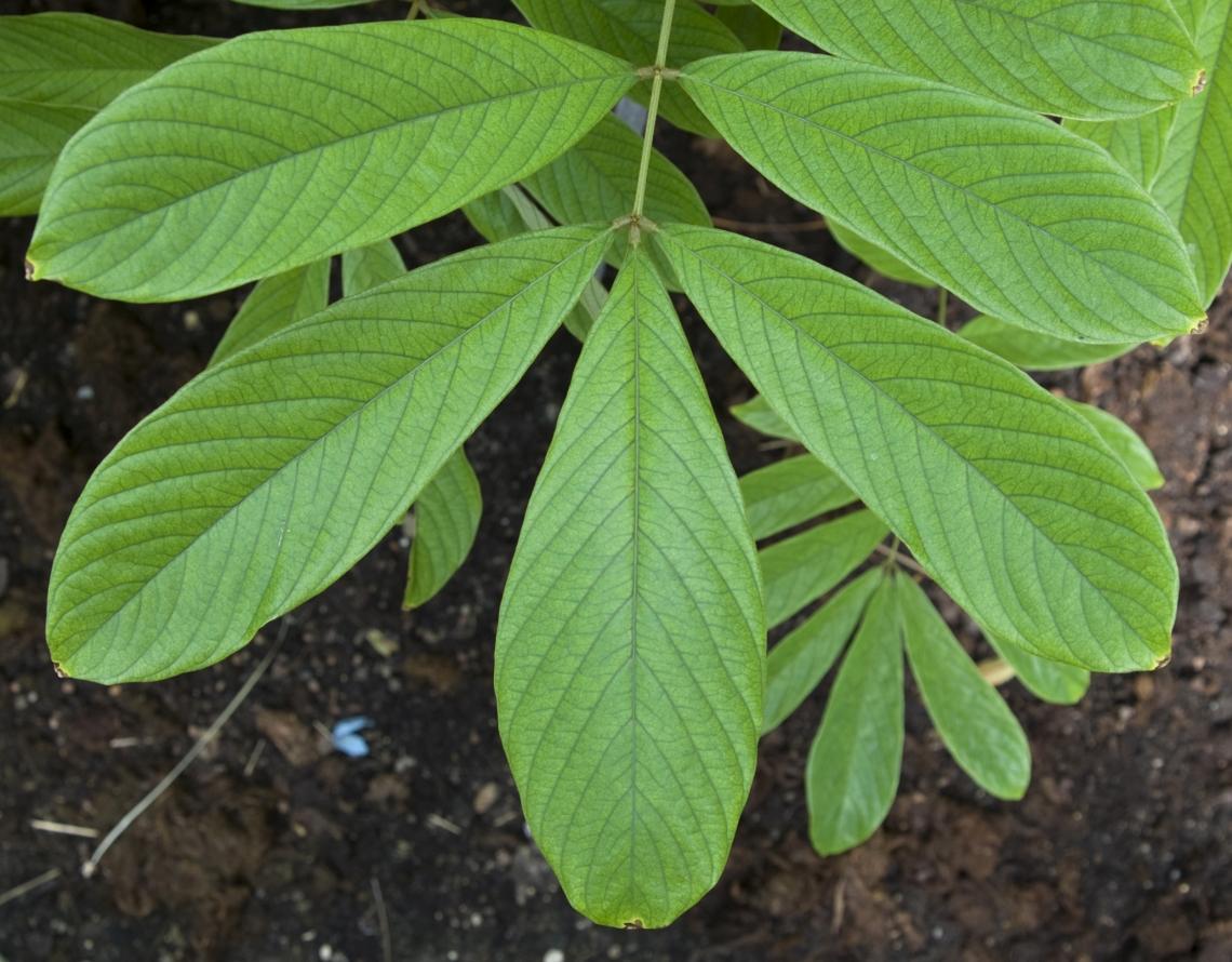 Leaves Tropical