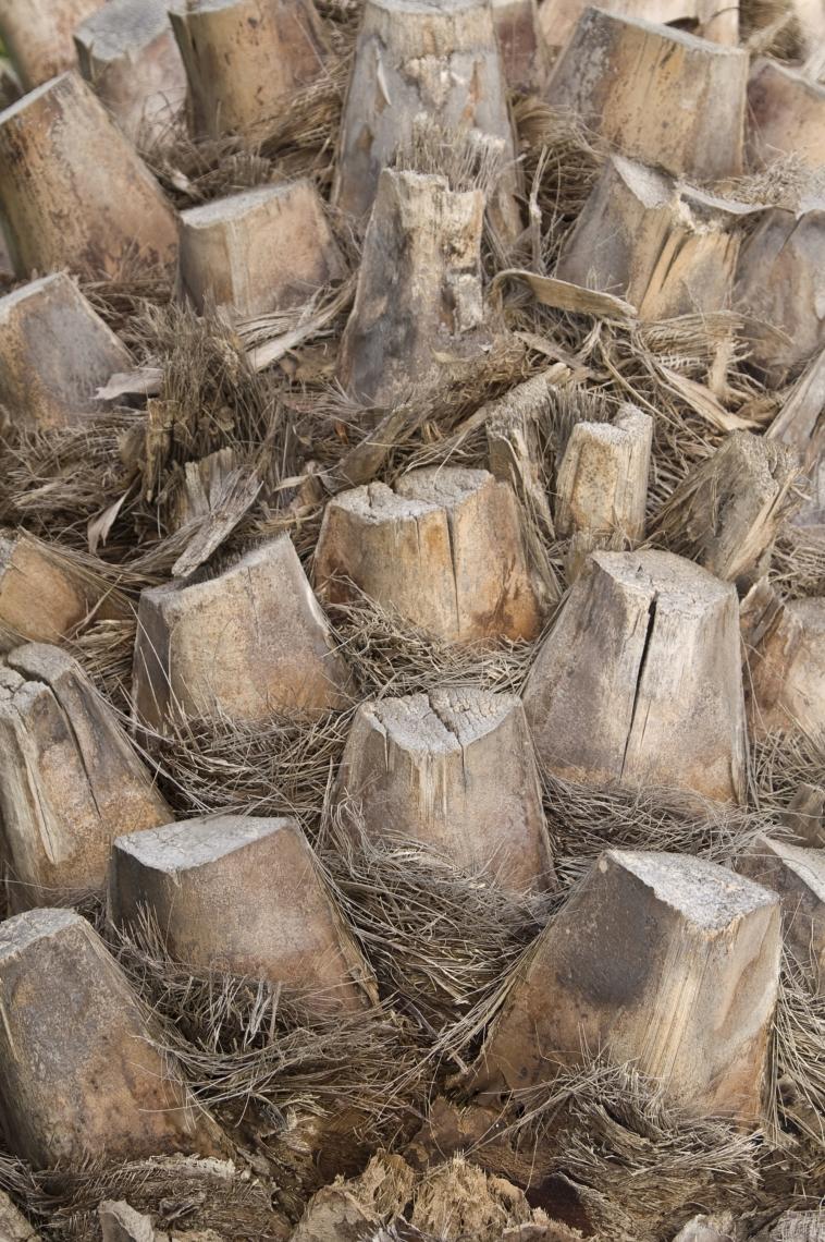 Bark Palm