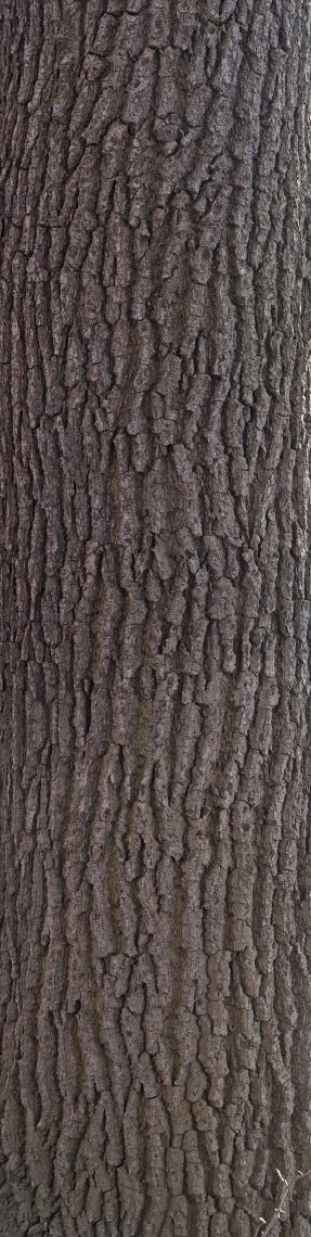 Bark Deciduous