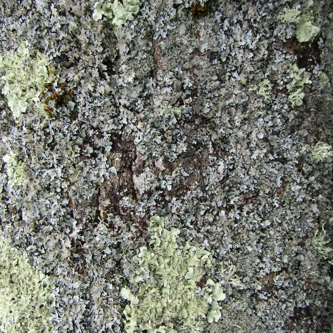 Wood lichen